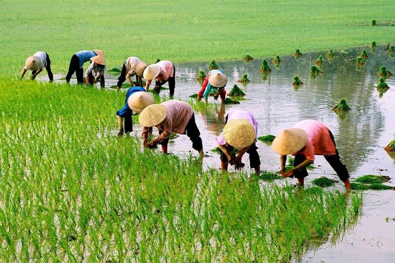 Nông dân Việt Nam sống chủ yếu bằng nghề trồng lúa - bao bì gạo việt nam