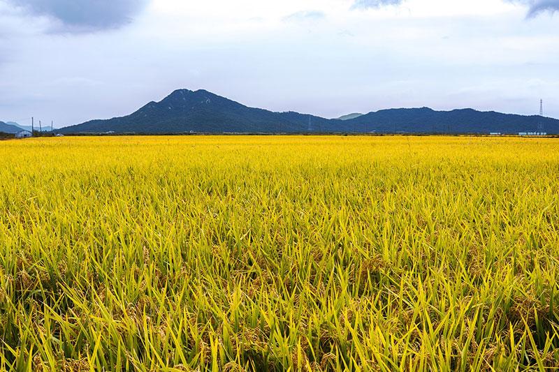 lúa trong mùa thu hoạch