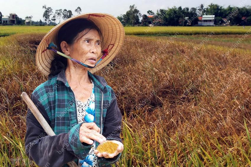Bao bì lúa giống kém chất lượng làm bà con mất mùa