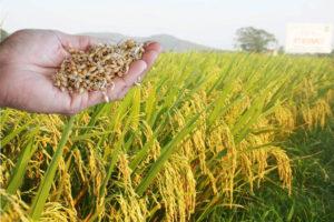 hạt lúa giống