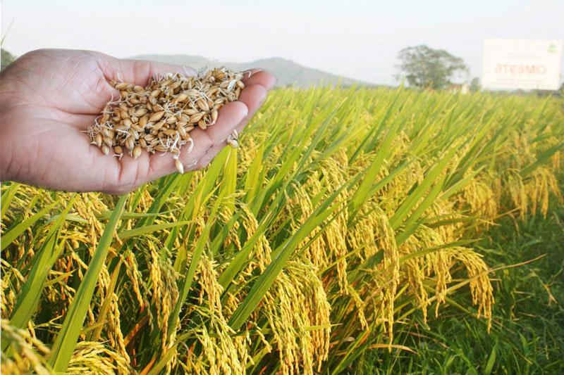 bao quản lúa giống bằng bao bì lúa giống